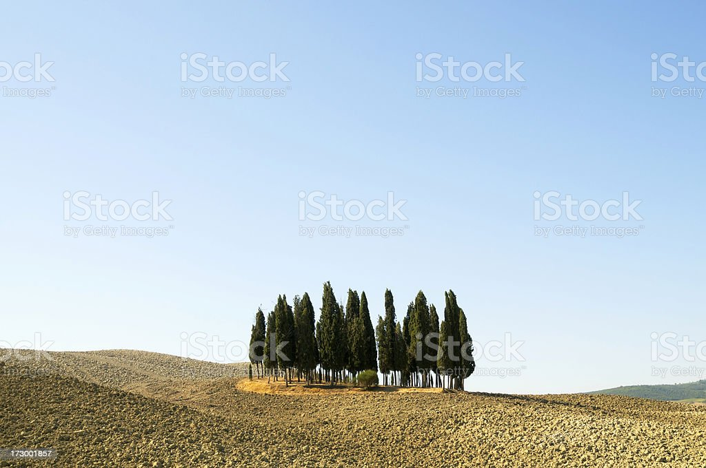 Cypress Trees in a Plowed Field royalty-free stock photo