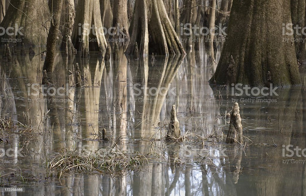 Cypress trees in swamp royalty-free stock photo