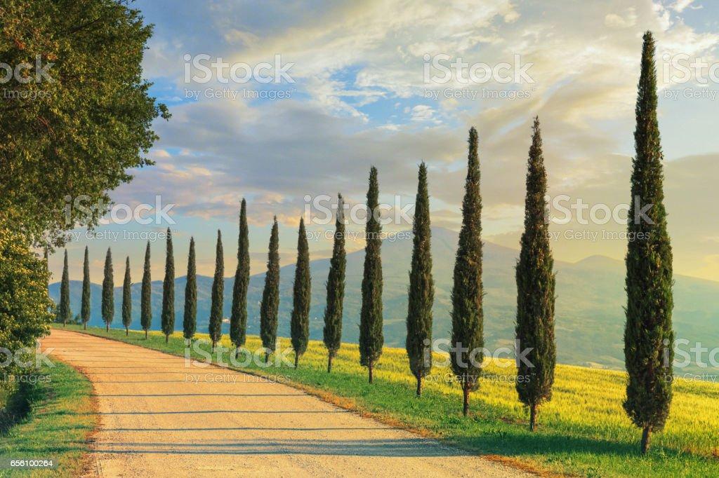 Cypress trees in Tuscany, Italy stock photo