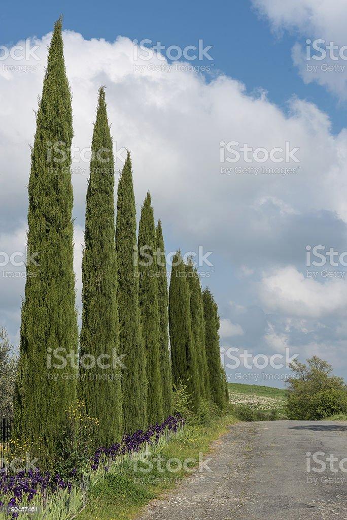 Cypress Trees in Tuscany stock photo
