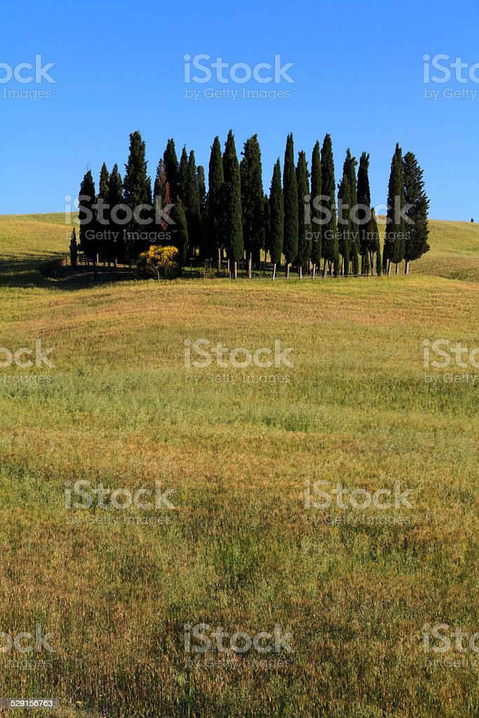 Cypress trees in Val d'Orcia, Tuscany, Italy. stock photo