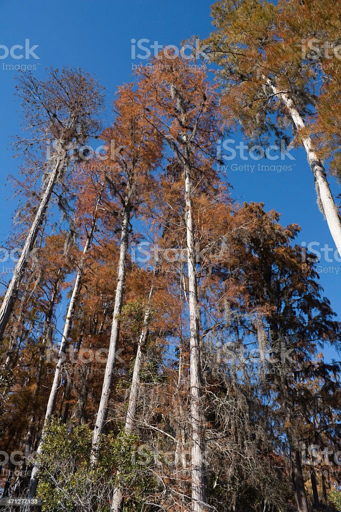Cypress Trees in Winter stock photo