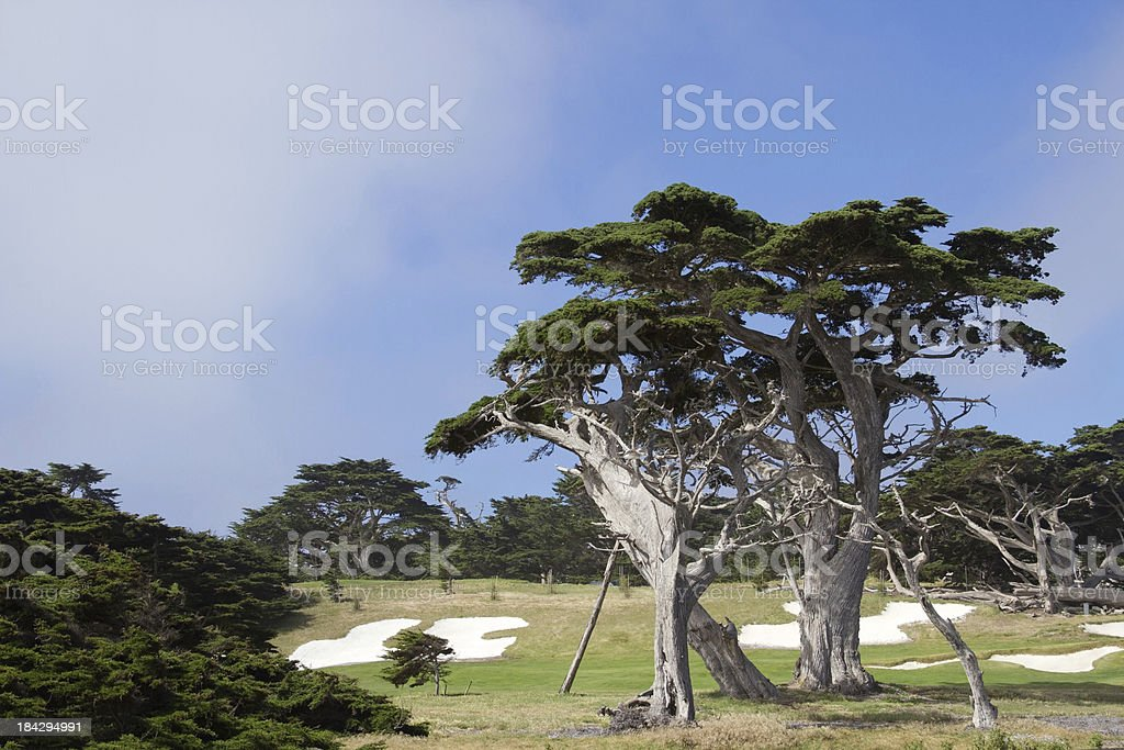 Cypress Trees on Golf Course stock photo