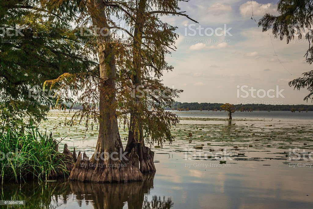 Cypress Trees On Lake Reelfoot in Samburg Tennessee stock photo