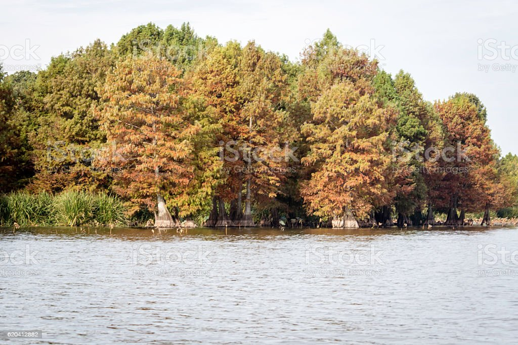 Cypress Trees on Reelfoot Lake Tennessee stock photo