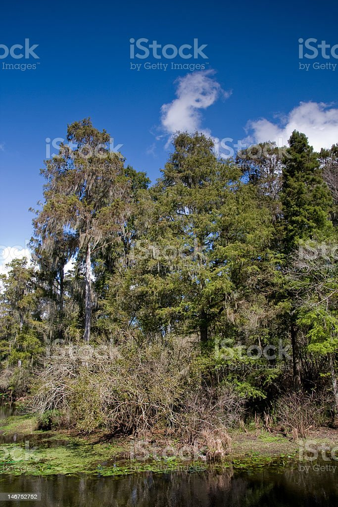 Cypress Trees on Riverbank stock photo