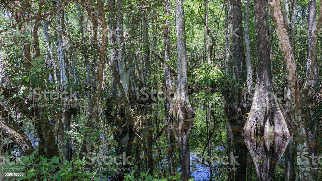 Cypress Trees, Swamp, Big Cypress National Preserve, Florida stock photo