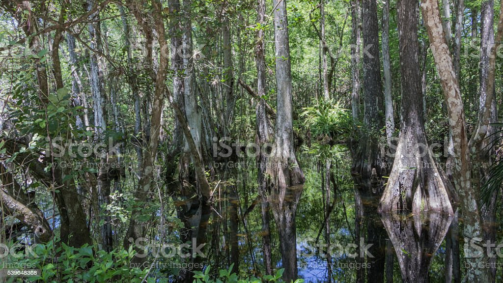 Cypress Trees, Swamp, Big Cypress National Preserve, Florida stock photo