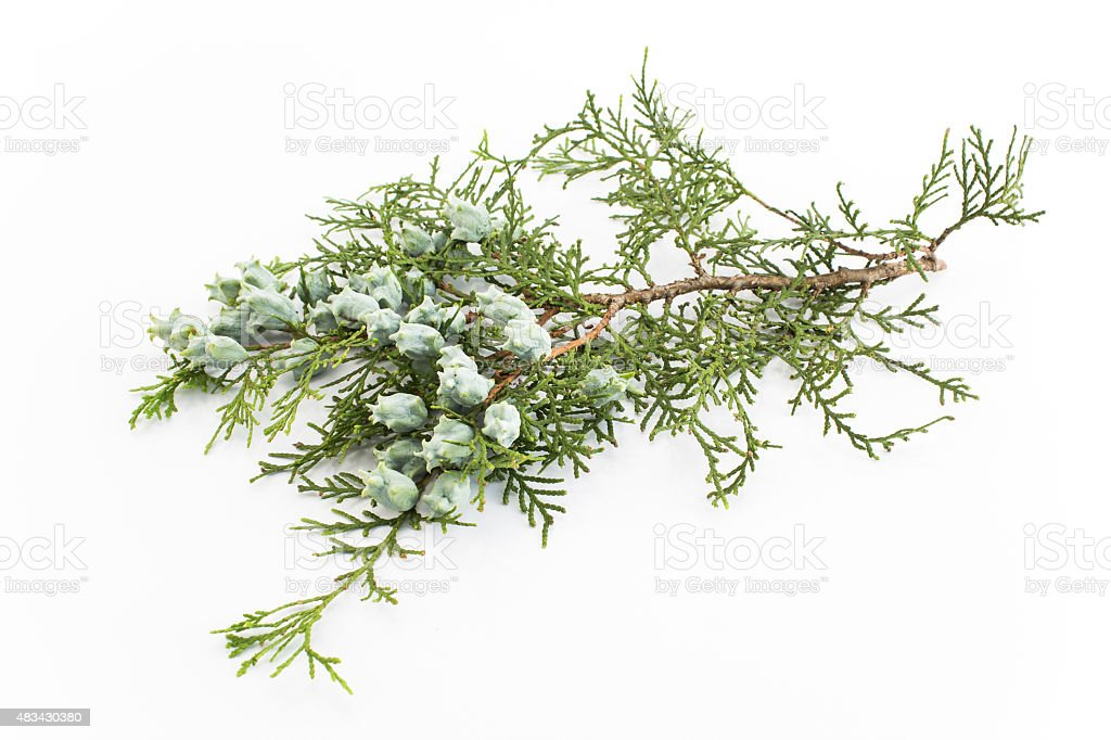 Cypress twigs with berrie stock photo