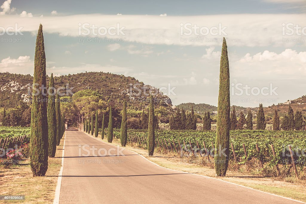 Cypresses alley through vineyards stock photo