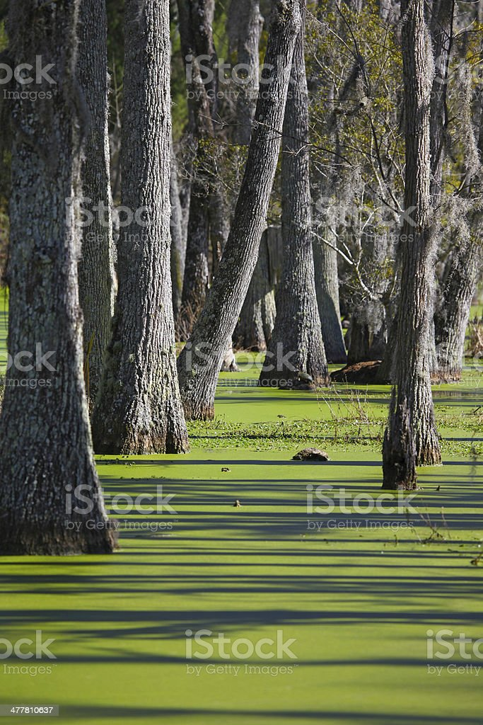 Cypresses and Swamp royalty-free stock photo