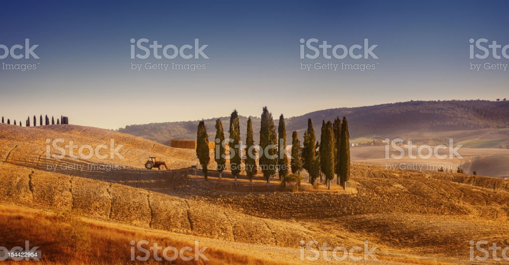 Cypresses in a field royalty-free stock photo