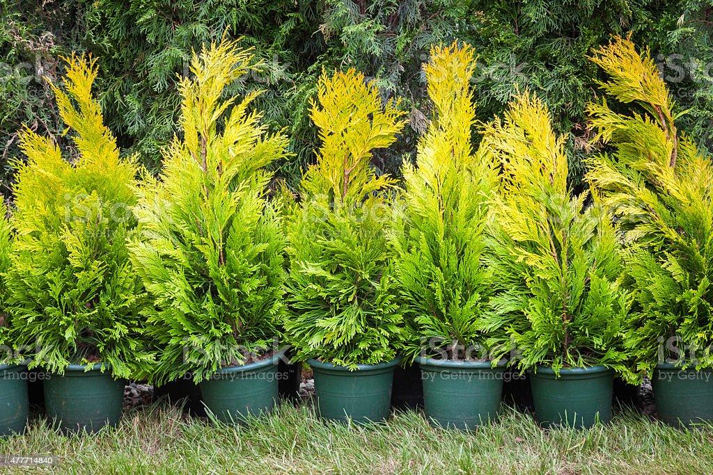 Cypresses plants in  pots on tree farm stock photo