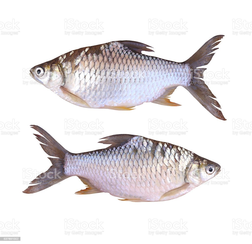 Freshwater fish anatomy - Cyprinidae Or Silver Barb Is In The Freshwater Fish Royalty Free Stock Photo