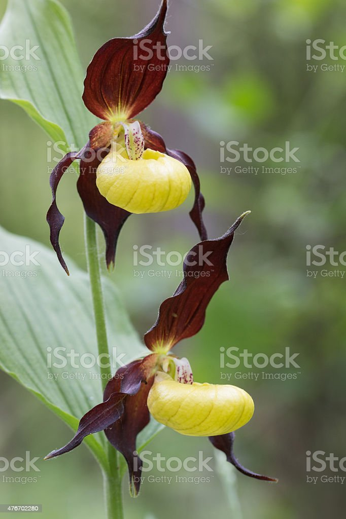 Cypripedium calceolus, lady slipper orchid stock photo