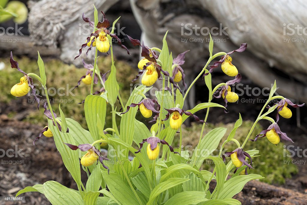 Cypripedium flowers in a garden stock photo