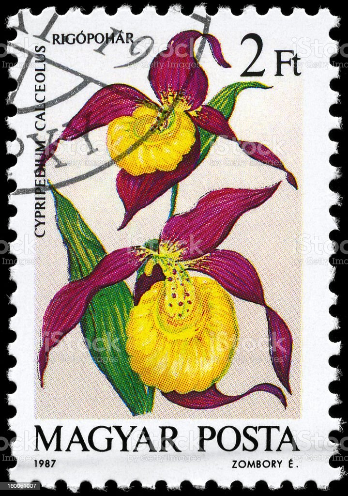 Cypripedium stock photo