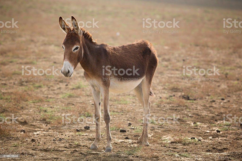 Cyprus Donkey in Karpass stock photo