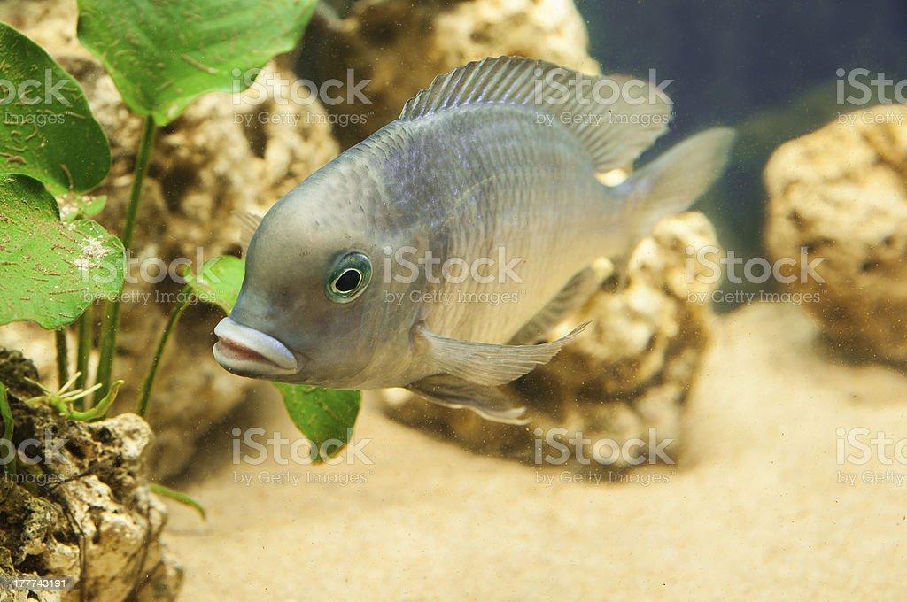 Cyrtocara Moorii fish stock photo