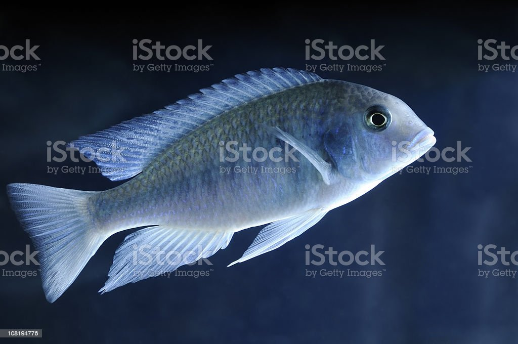 Cyrtocara Moorii stock photo