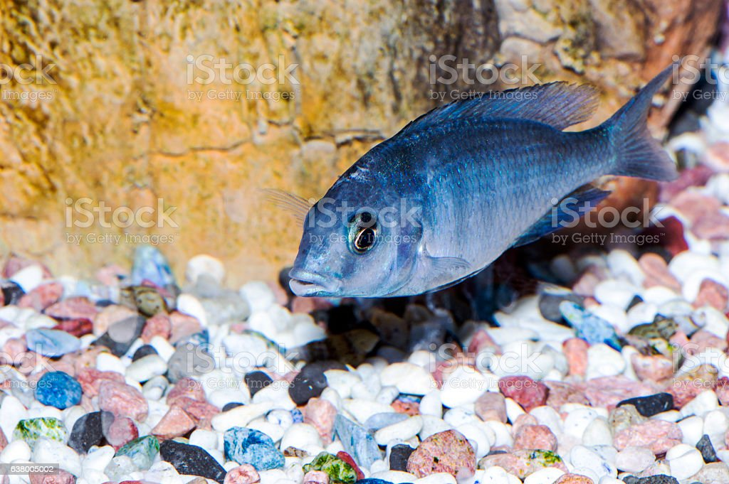 Cyrtocara Moorii,cichlid fish stock photo