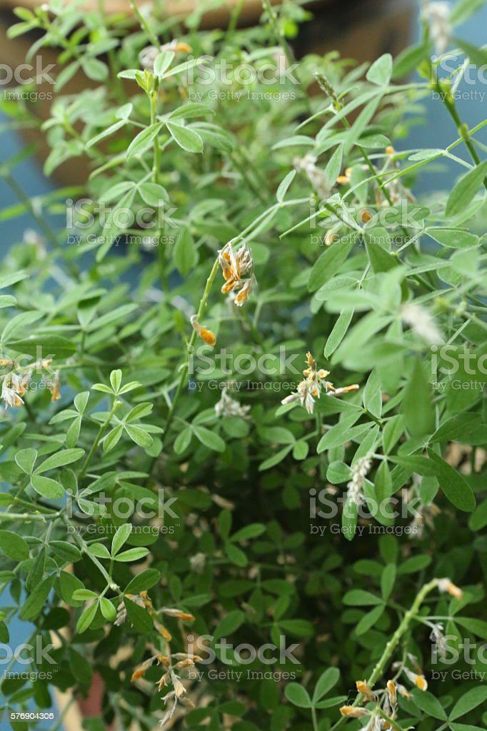 Cytisus Scoparius Link stock photo