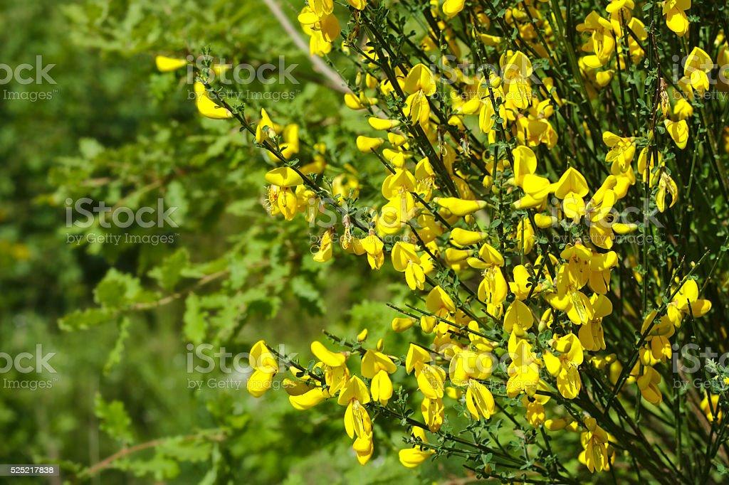 Cytisus Scorparius - Common broom detail stock photo