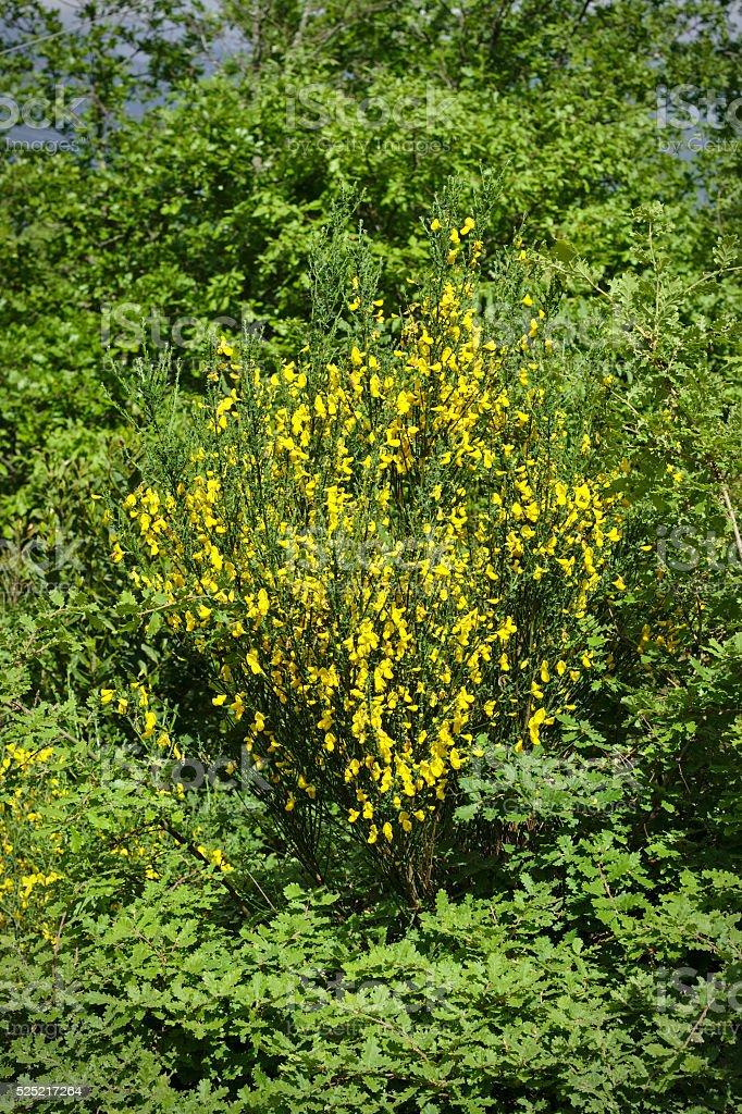 Cytisus Scorparius - Common broom stock photo