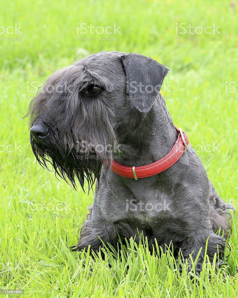 Czech Terrier on the green grass stock photo