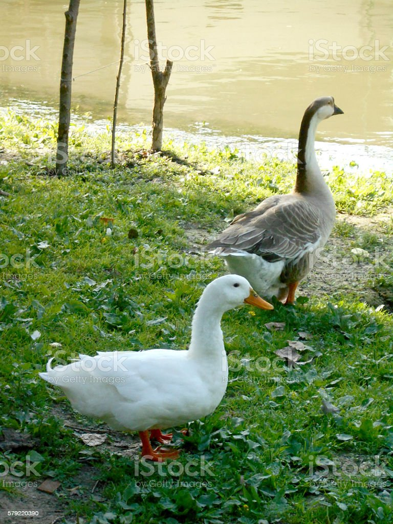 Dabbling Duck and Chinese Goose (Swan Goose) on the lawn stock photo