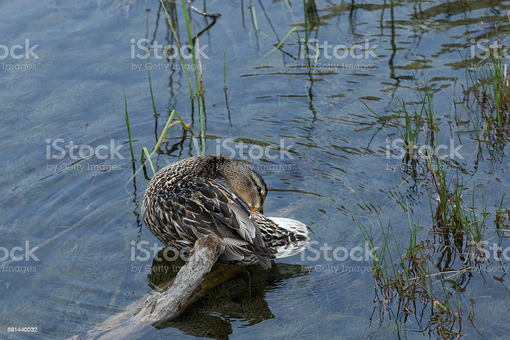 dabbling duck cleaning itself stock photo