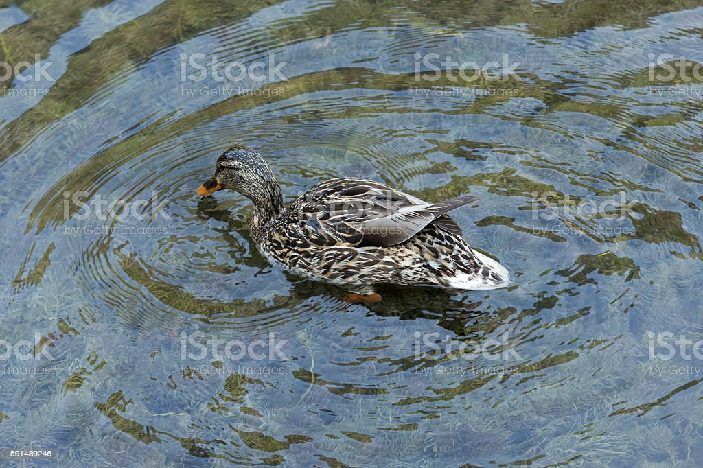 dabbling duck finding food stock photo