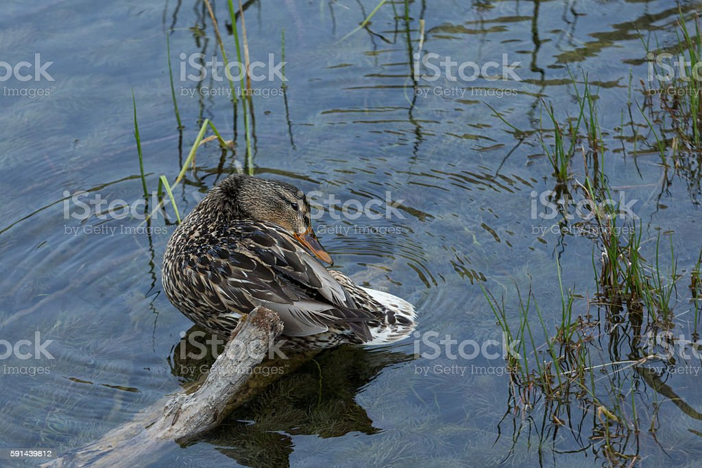 dabbling duck in the lake stock photo