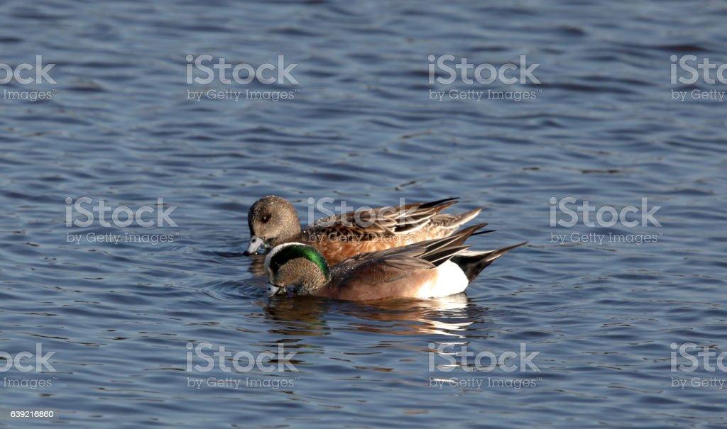 Dabbling Ducks American Wigeon Pair stock photo