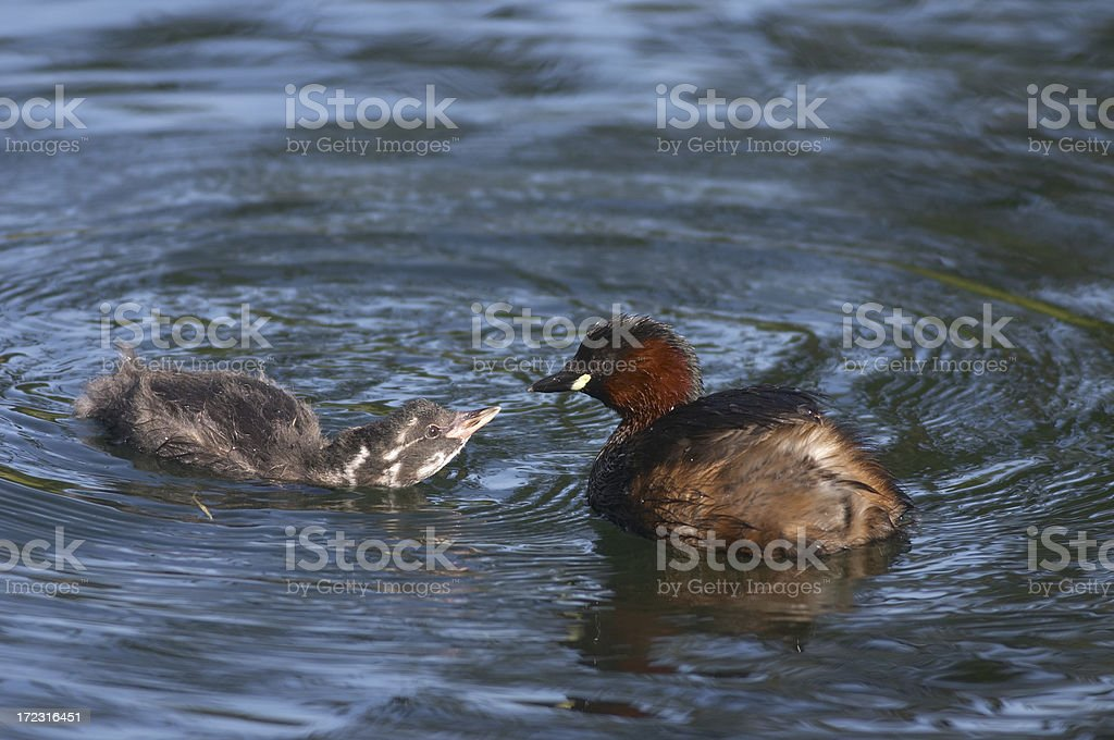 Dabchick chick begs for food stock photo