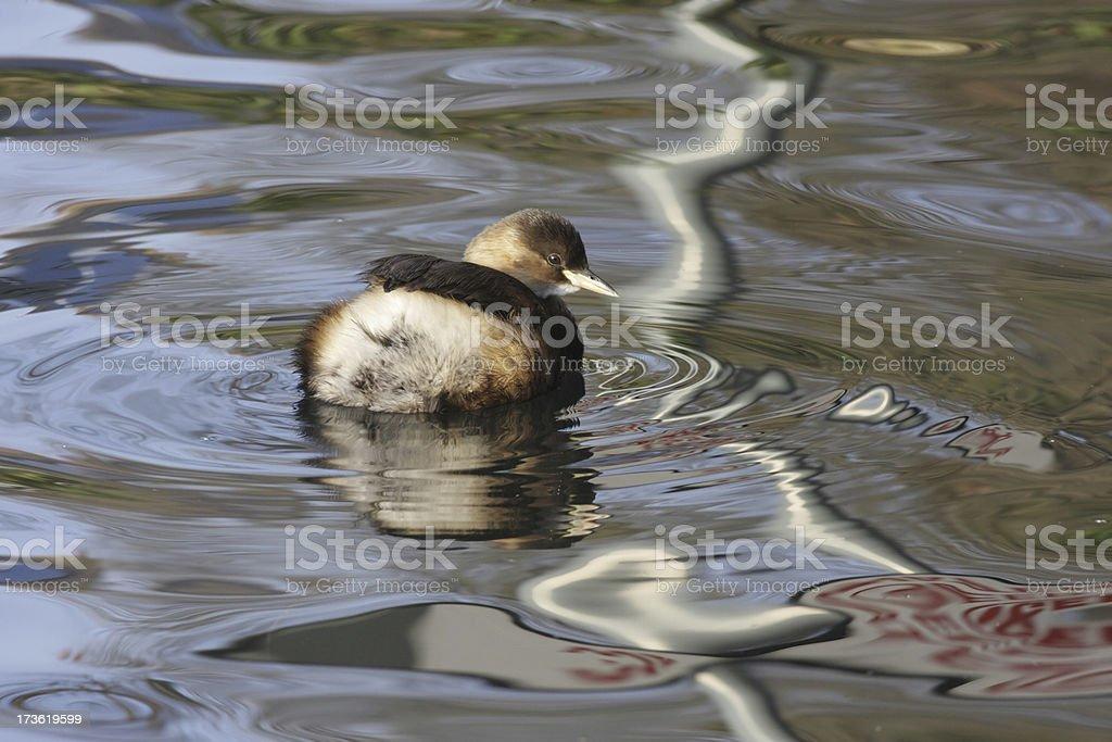 Dabchick little grebe examines danger sign reflection stock photo