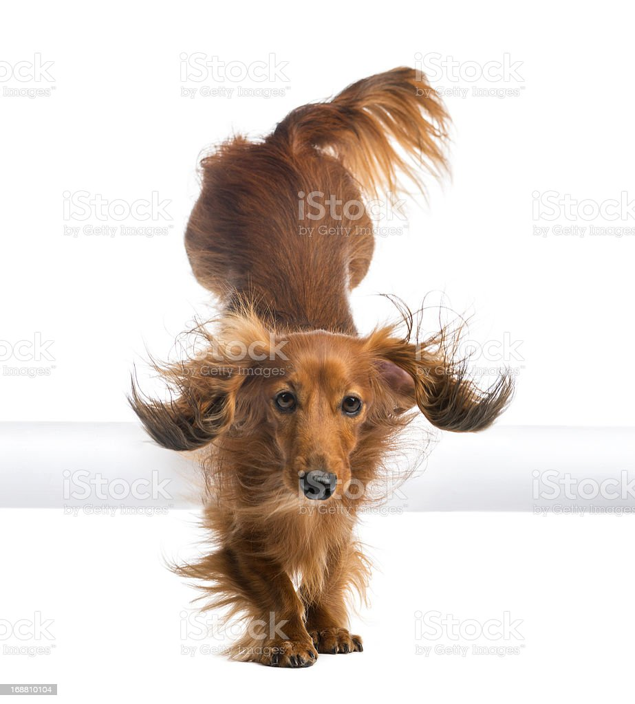 Dachshund, 4 years old, jumping over white tube royalty-free stock photo
