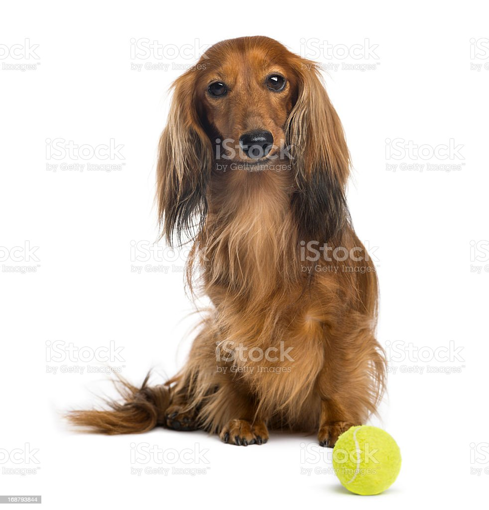 Dachshund, 4 years old, sitting with a tennis ball, isolated royalty-free stock photo