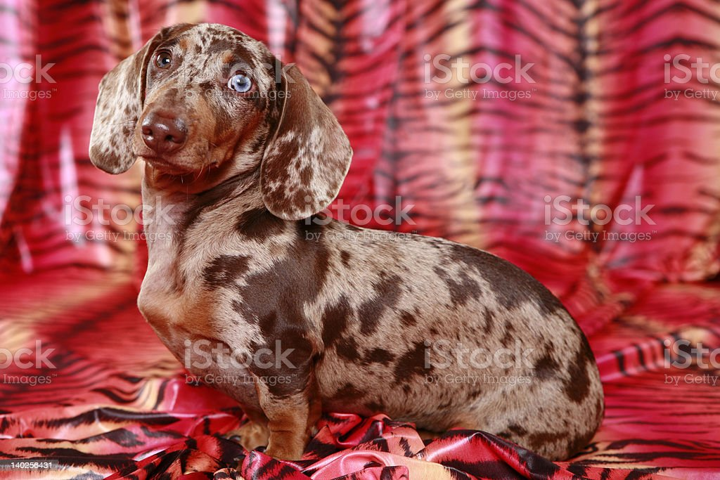 Dachshund against tiger backdrop royalty-free stock photo