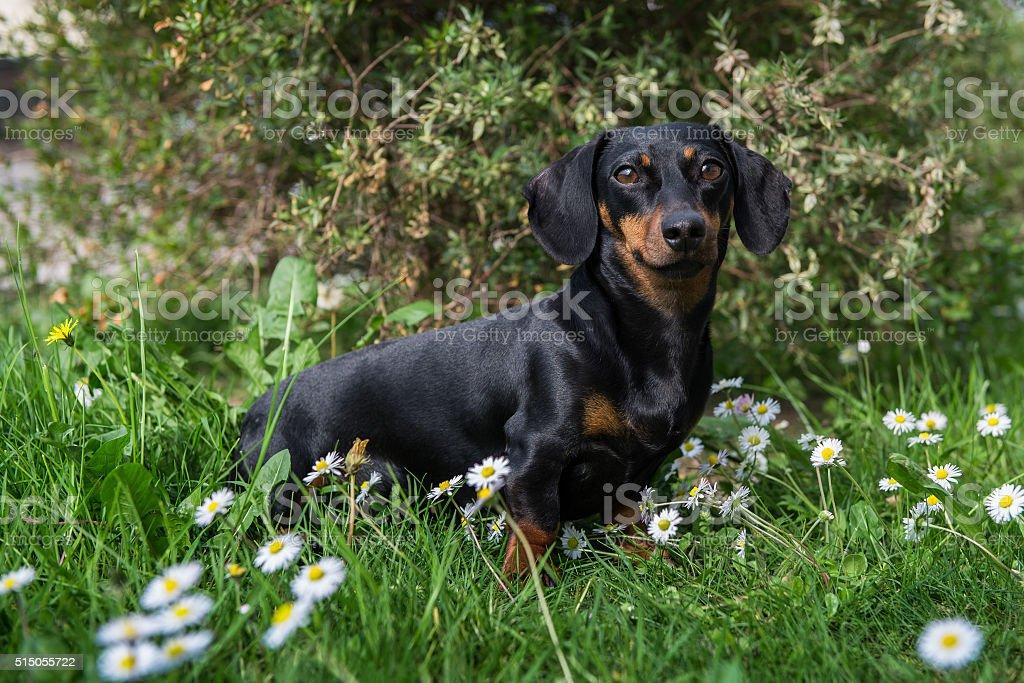 dachshund among the daisies stock photo