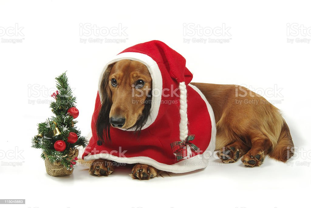 Dachshund and christmas royalty-free stock photo