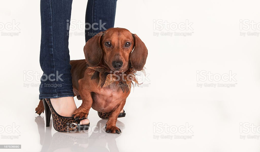 Dachshund and Human Shoe Model stock photo