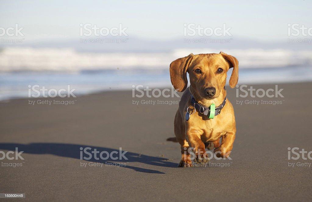 Dachshund at the beach. stock photo