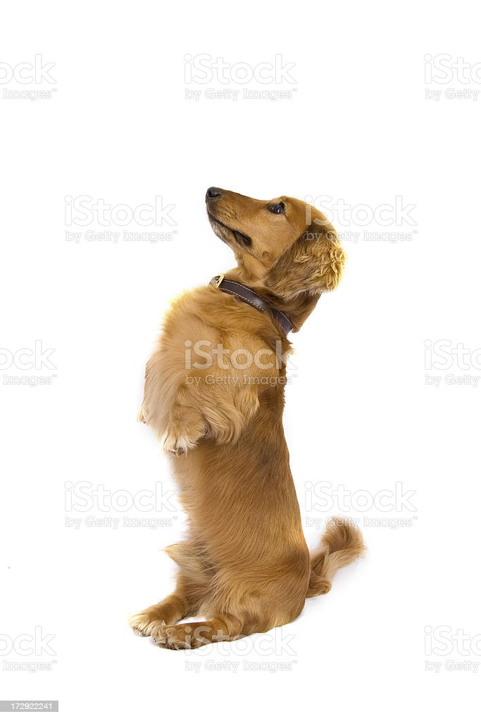 Dachshund Begging royalty-free stock photo