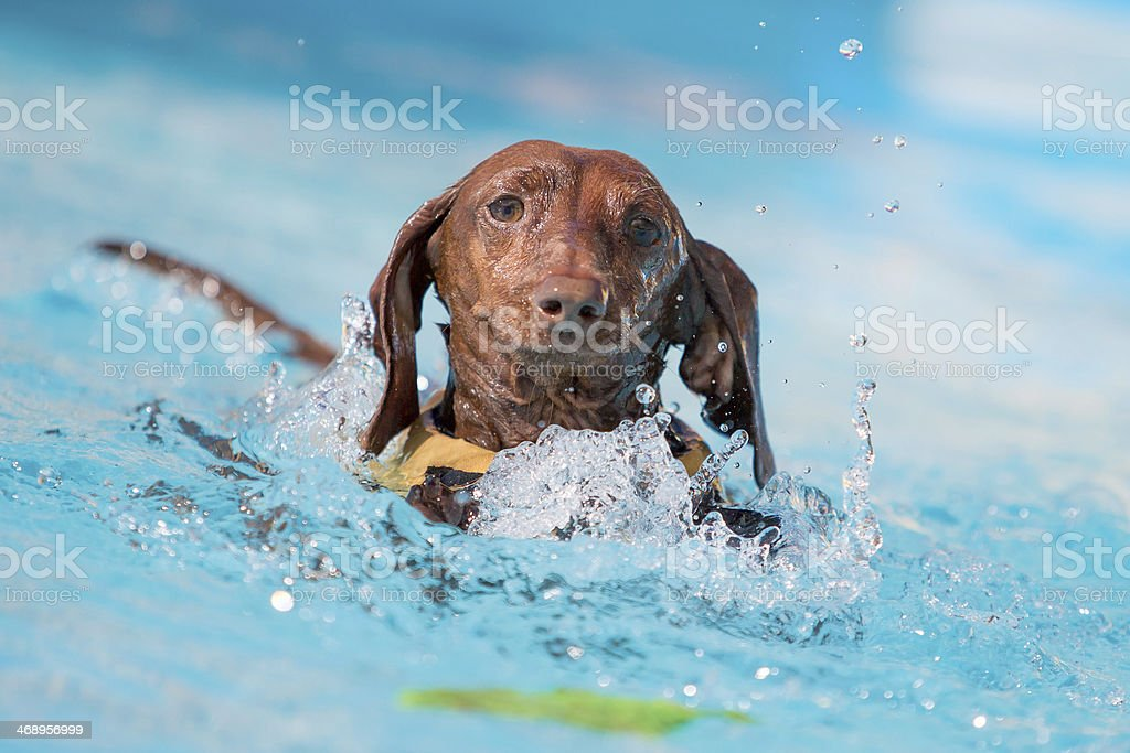 Dachshund Chasing After a Toy in the Water stock photo