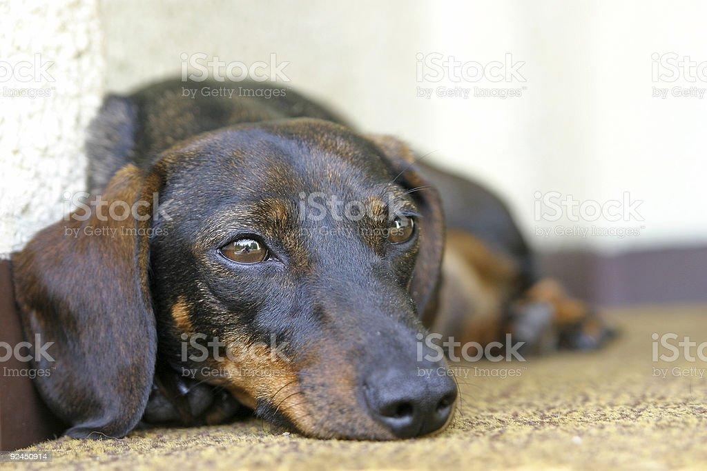 Dachshund Dog [2] royalty-free stock photo