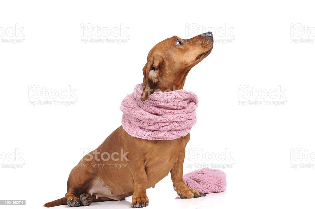 dachshund dog dressed into scarf isolated over white royalty-free stock photo