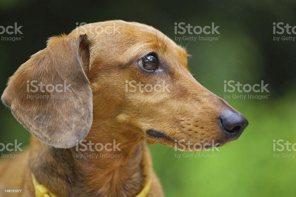 dachshund dog in park royalty-free stock photo