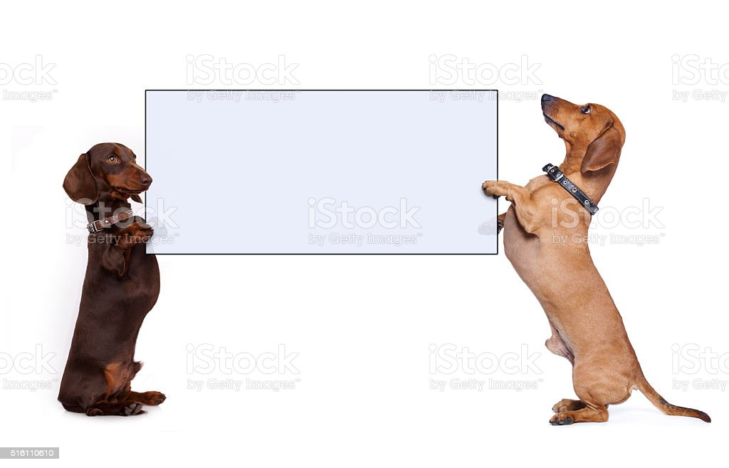 dachshund dog paws holding banner stock photo