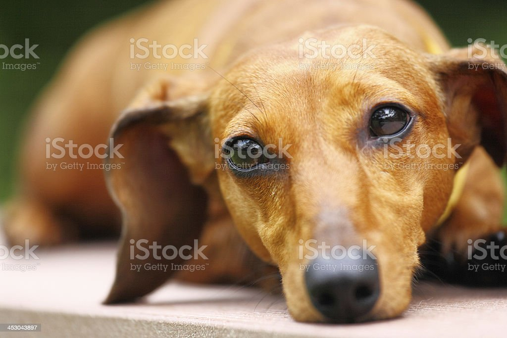 dachshund dog royalty-free stock photo